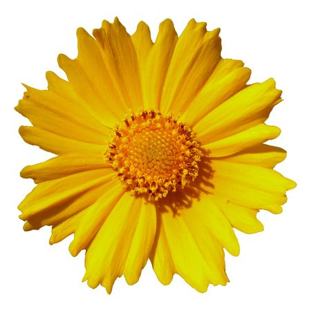 Coreopsis flower isolated on a white background.