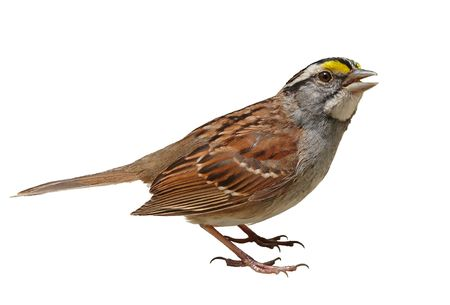 brown throated: White-throated sparrow isolated on a white background.