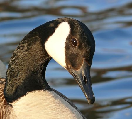 A Canada goose in the winter.