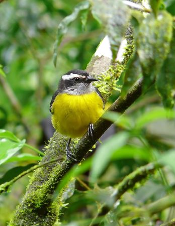 A Bananaquit (a type of nectar-eating bird) in the cloud forest in Ecuador. photo