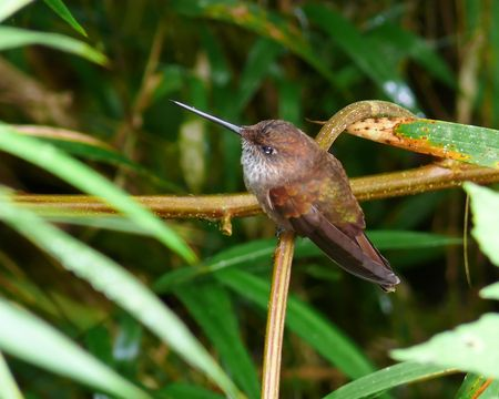 bronzy: Bronzy Inca hummingbird in the cloud forest in Ecuador.