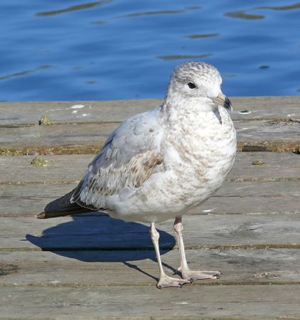 immature: Ring-billed gull (immature) at a lake near wetlands. Stock Photo