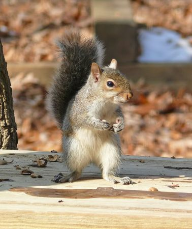 Eastern grey squirrel during winter in Maryland, USA.