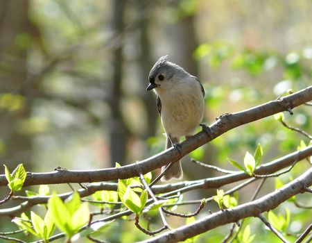 Tufted titmouse during the Spring in Maryland, USA. photo