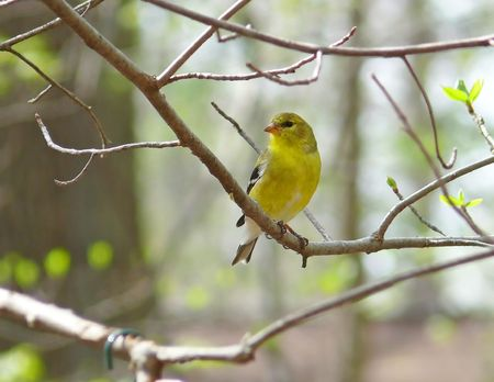 American Goldfinch (female) in the spring. Imagens