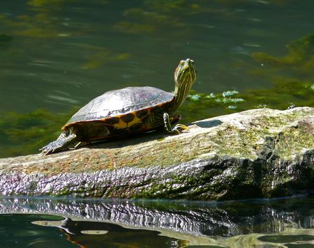 Eastern Painted Turtle in Maryland.