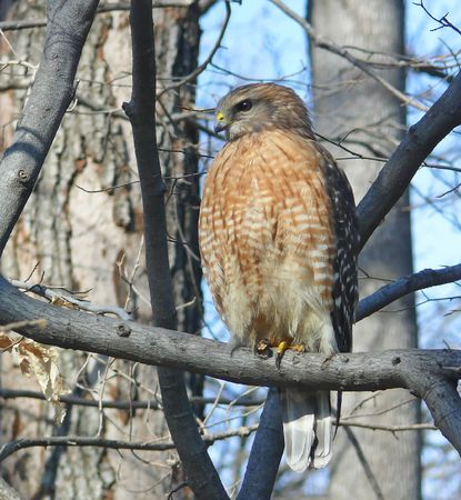 Red-shouldered hawk in the winter in Maryland. photo