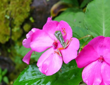tree frog in Ecuador on a flower. photo
