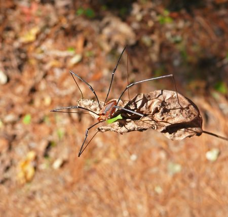 Harvestman (arachnid) on a leaf in Delaware Stock Photo