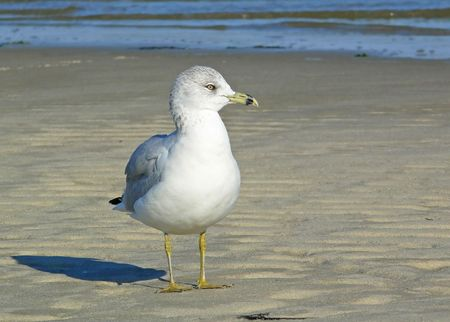 webbed legs: Ring-billed Gull gazing right on the beach