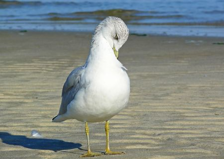 webbed legs: Ring-billed Gull preening himself on the beach Stock Photo
