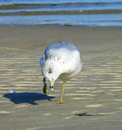 larus: Ring-billed Gull preening and scratching himself
