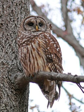 Barred owl looking to the right photo