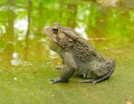 American toad - side view Stock Photo