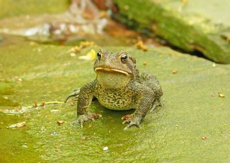American toad - frontal view