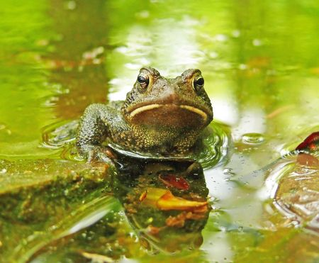 American toad sitting in a pond photo