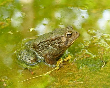 American toad in a pond - side view photo