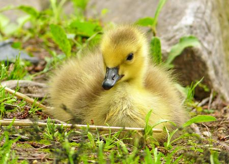 gosling: Very young Canada goose gosling Stock Photo