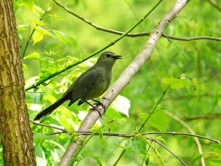 catbird: Gray Catbird in Maryland Stock Photo