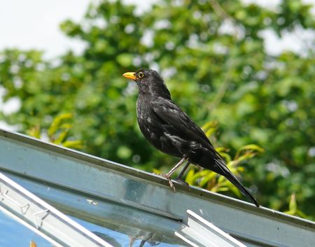 Male Eurasian blackbird in England photo