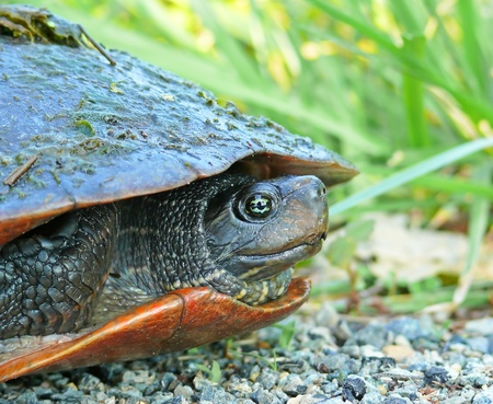 cooter: Northern red-bellied turtle in Delaware