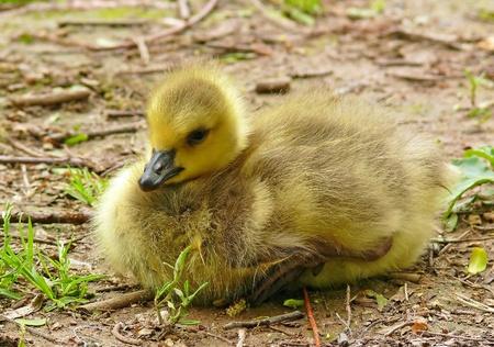 gosling: Canada goose gosling resting on the soil Stock Photo