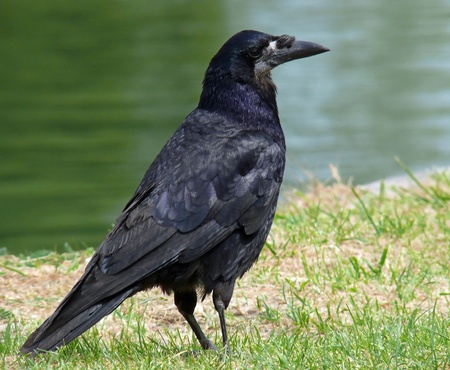A Rook standing by a canal in England
