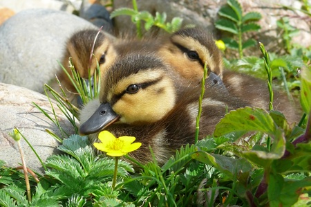 Three mallard duck ducklings in wetlands in England