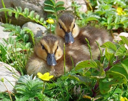 Two mallard duck ducklings in wetlands in England Stock Photo