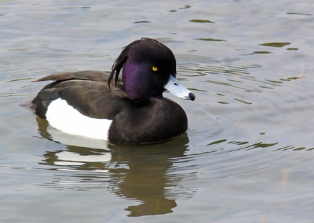 Male Tufted duck swimming on a lake in wetlands in England
