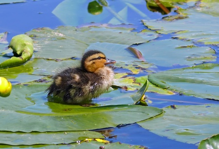 Mallard duck duckling sitting on a lily pad in England photo