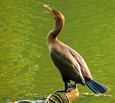 waterbird: Double-crested Cormorant (Phalacrocorax auritus) perching on a log in Maryland Stock Photo