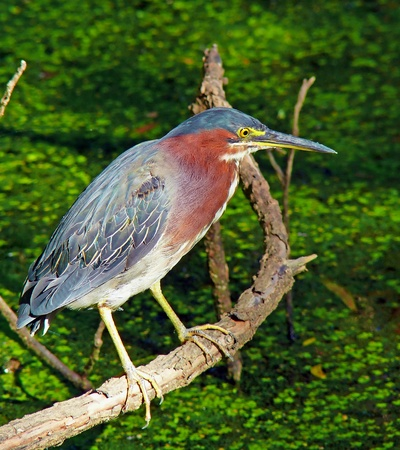 A Green Heron (Butorides virescens) perching on a branch in Maryland Reklamní fotografie