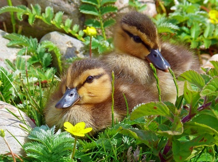 Mallard duck ducklings resting in wetlands in England Stock Photo