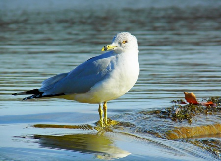 larus: Ring-billed Gull standing on a dam in winter in Maryland