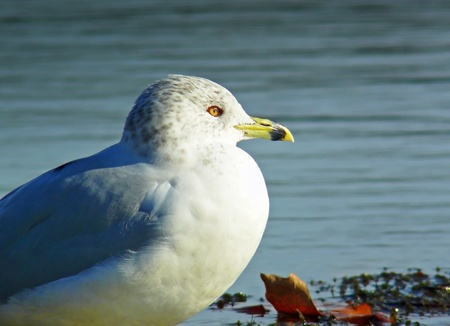 billed: Close up of a Ring-billed Gull in winter in Maryland Stock Photo