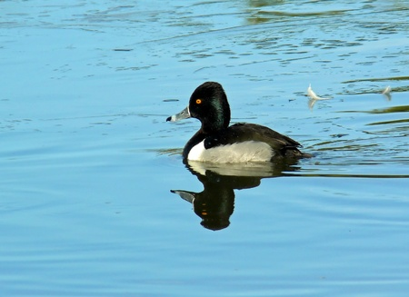 Male drake Ring-necked Duck swimming in an icy lake in winter photo