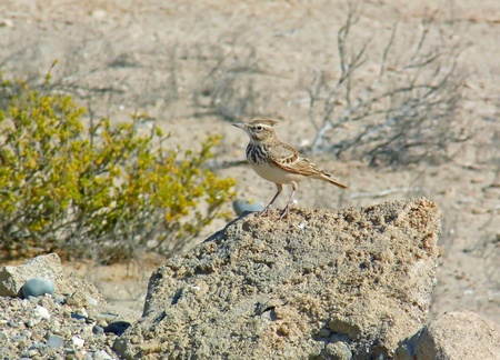 Crested Lark standing on a rock in Abu Dhabi looking forward Banco de Imagens