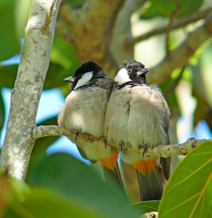 A pair of White-cheeked Bulbuls perching on a tree in Abu Dhabi