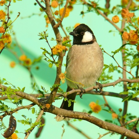 White-cheeked Bulbul perching on a branch in Abu Dhabi in the United Arab Emirates