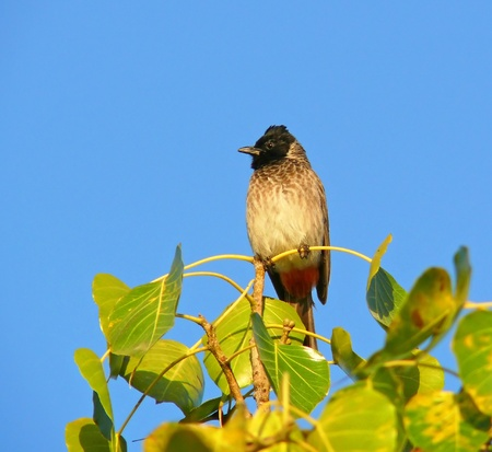 vented: Red-vented Bulbul perching on a tree in Abu Dhabi in the United Arab Emirates