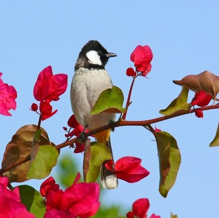 White-cheeked Bulbul perching on a flower bush in Abu Dhabi in the United Arab Emirates 版權商用圖片