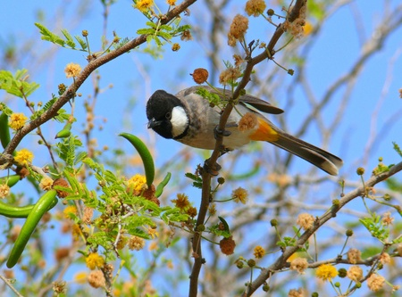 White-cheeked Bulbul jumping from a flower bush in Abu Dhabi in the United Arab Emirates