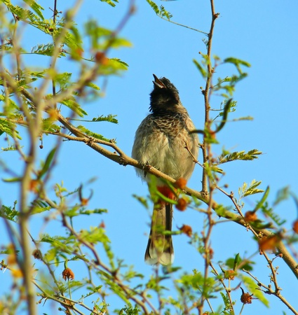 vented: Red-vented Bulbul perched singing in a Ghaf tree in Abu Dhabi in the United Arab Emirates Stock Photo
