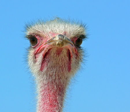 ratite: Face of a male Ostrich in the desert Stock Photo