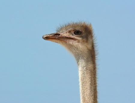 Face et de profil d'une femme d'autruche dans le désert Banque d'images - 12158063