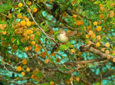 Graceful Prinia warbler perched on a Ghaf tree in Abu Dhabi in the United Arab Emirates