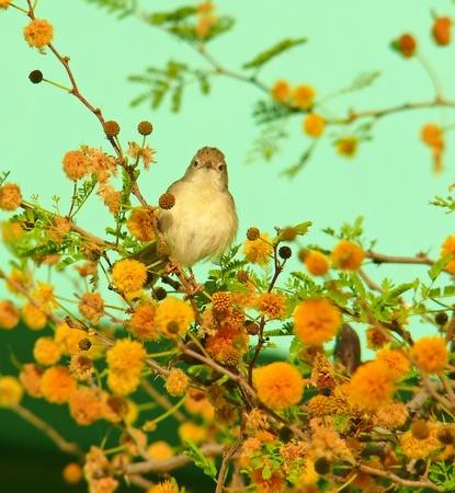 Graceful Prinia warbler perched on a Ghaf tree in Abu Dhabi in the United Arab Emirates Stock Photo - 12158071