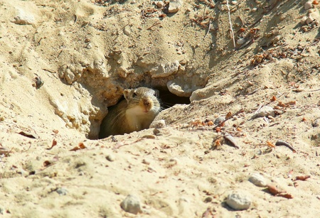 Arabian Jird emerging from its hole in Abu Dhabi in the United Arab Emirates