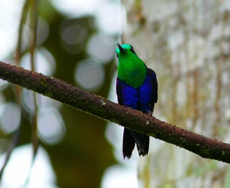 Green-crowned Woodnymph male hummingbird perched on a tree in the cloud forest in Ecuador Stock Photo - 12158086